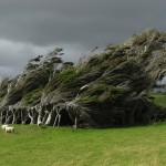 Slope Point Trees in New Zealand ideasgn4